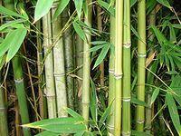 Bamboo_plants