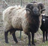 7624.Chakotay-Sheep-web.jpg-550x0