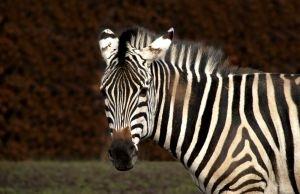 20080521-zebra.jpg