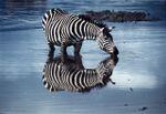 Zebraforweb_1